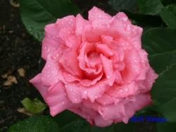 あらかわ遊園のバラ10