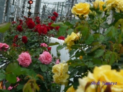 都電荒川線沿線のバラ10