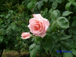 日比谷公園のバラ1