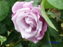 日比谷公園のバラ2