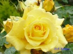日比谷公園のバラ3