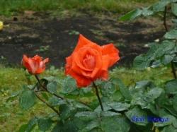 日比谷公園のバラ4