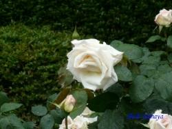 日比谷公園のバラ5