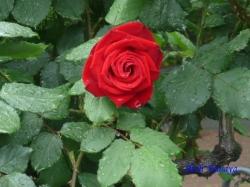 日比谷公園のバラ6