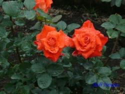 日比谷公園のバラ7