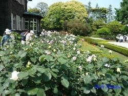 旧古河庭園のバラ1