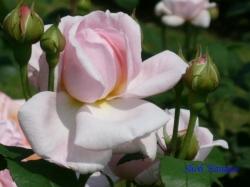 旧古河庭園のバラ3