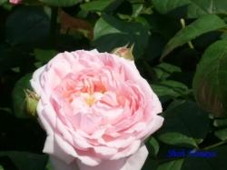 旧古河庭園のバラ4
