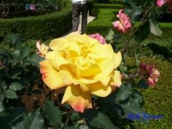 旧古河庭園のバラ6