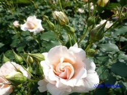 旧古河庭園のバラ7