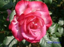 旧古河庭園のバラ8