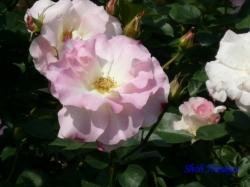 神代植物公園のバラ2
