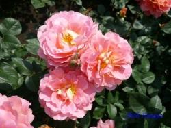 神代植物公園のバラ3