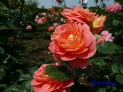 神代植物公園のバラ4