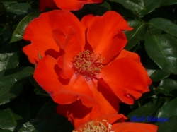 神代植物公園のバラ5