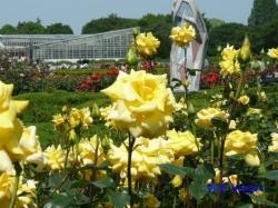 神代植物公園のバラ6
