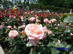 神代植物公園のバラ7