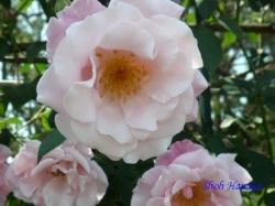 神代植物公園のバラ8