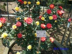 神代植物公園のバラ9