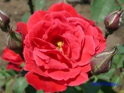 神代植物公園のバラ10