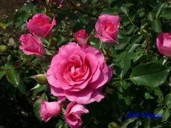 神代植物公園のバラ11