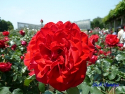 神代植物公園のバラ12