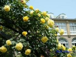 鳩山会館のバラ2