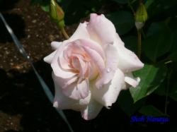 鳩山会館のバラ3