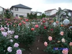 青和ばら公園再訪2