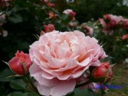 代々木公園武蔵野バラ会12