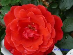 芝浦中央公園のバラ3