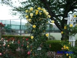 芝浦中央公園のバラ4