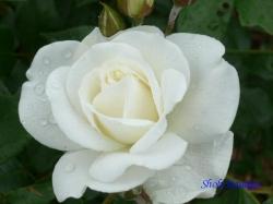 芝浦中央公園のバラ5