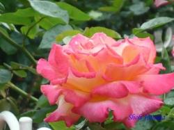 芝浦中央公園のバラ6