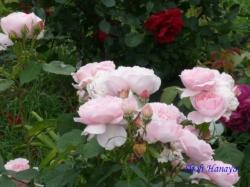 木場公園のバラ1