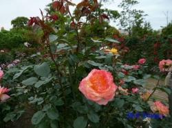 木場公園のバラ2