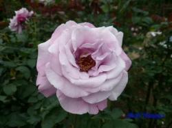 木場公園のバラ3