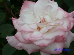 木場公園のバラ5