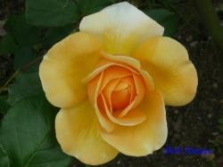 木場公園のバラ6