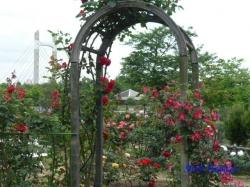 木場公園のバラ8