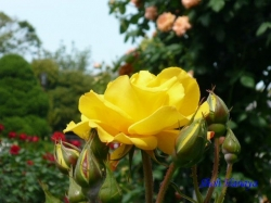 葛西総合公園のバラ3