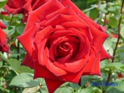 葛西総合公園のバラ5