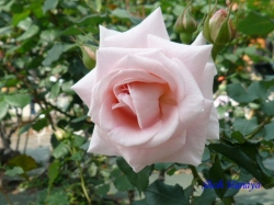 葛西総合公園のバラ6