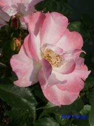 葛西総合公園のバラ7