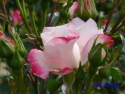 葛西総合公園のバラ8