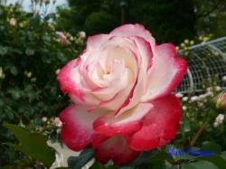 葛西総合公園のバラ9