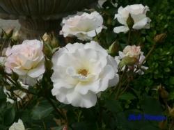 葛西総合公園のバラ10