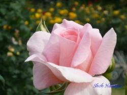葛西総合公園のバラ11