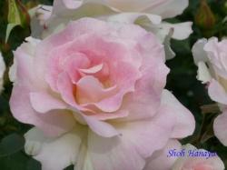葛西総合公園のバラ12
