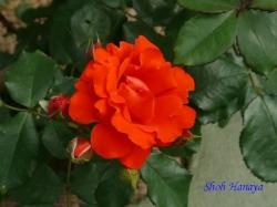 葛西総合公園のバラ13